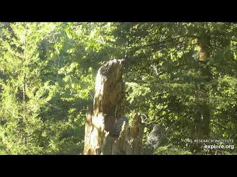 Great Gray Owlet #1 Fledge