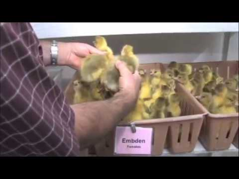 How to Sex Ducklings and Goslings - Metzer Farms