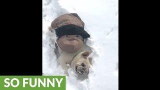 French Bulldog absolutely loves heavy snowfall