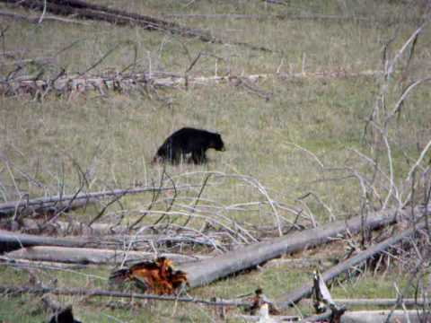 Bear and Buffalo at Yellowstone