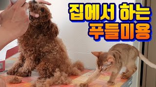 Puppy Beauty, Poodle Beauty Course. Follow this video footage beauty dog (Beauty Poodle Beauty Act)