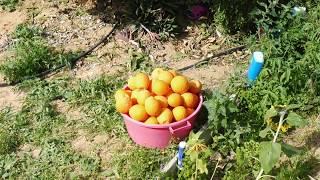Наш апельсиновый урожай