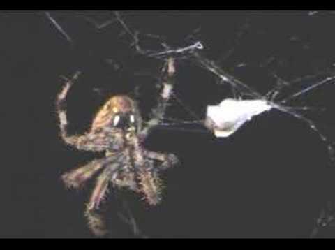 Barn Spider feeding