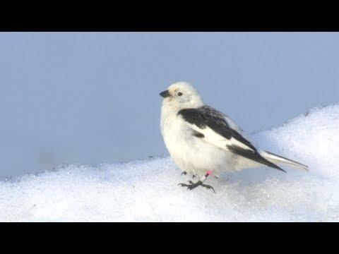 Snow Bunting | American Bird Conservancy