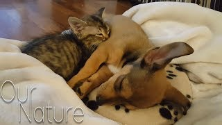 Download Puppies Meeting Kittens For The Very First Time Compilation 2018 (BEST FUNNY ANIMAL COMPILATION) Mp3 and Videos