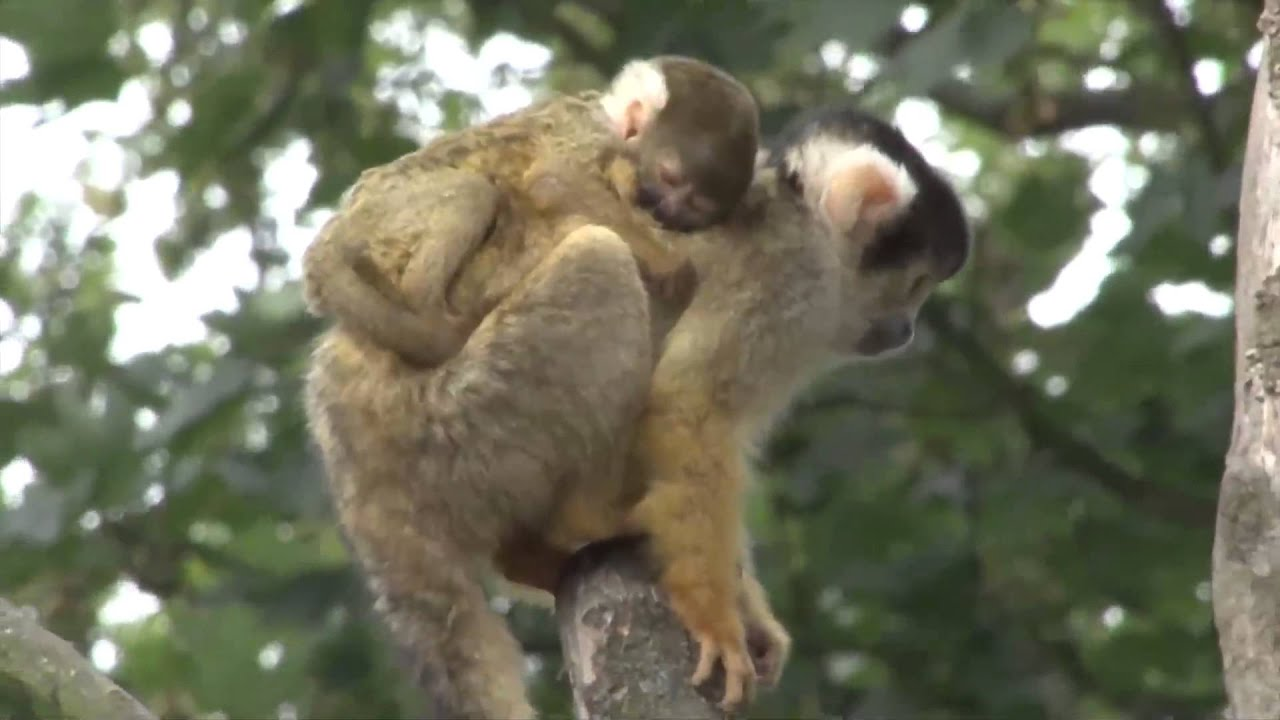 Cute Sleeping Puppy Wallpaper Adorable Baby Monkey Clings To Mom At London Zoo Youtube