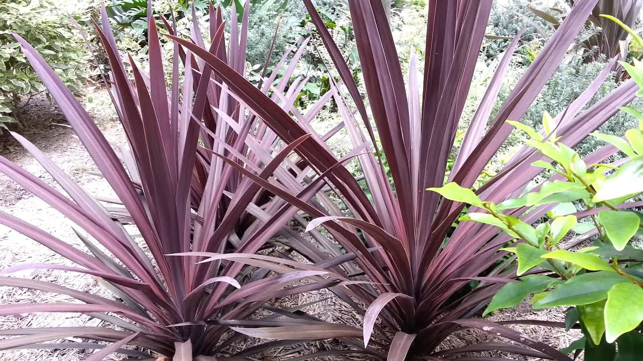 Cordyline australis red sensation red cabbage tree hd for Jardin plante
