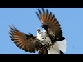Polish Orliks Highfiyer Pigeons