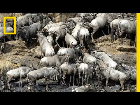 How 2 Million Pounds of Wildebeest Carcasses Help the Serengeti   National Geographic
