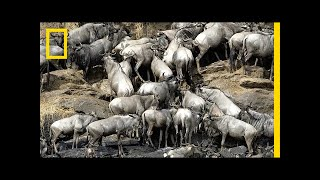 How 2 Million Pounds of Wildebeest Carcasses Help the Serengeti | National Geographic