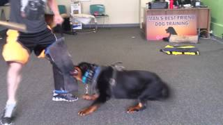Champ And Carl Two Protection Trained Rottweilers