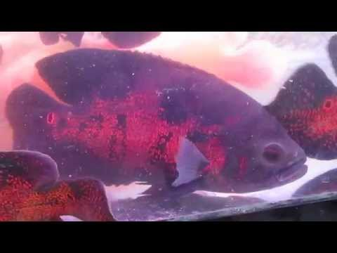 Cá tai tượng châu phi khổng lồ