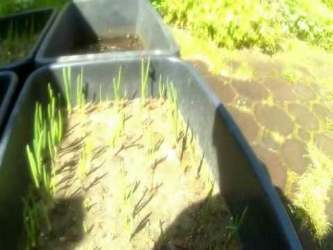 Zwiebeln Selber Anbauen In Kubeln Tag 21 25 Youtube
