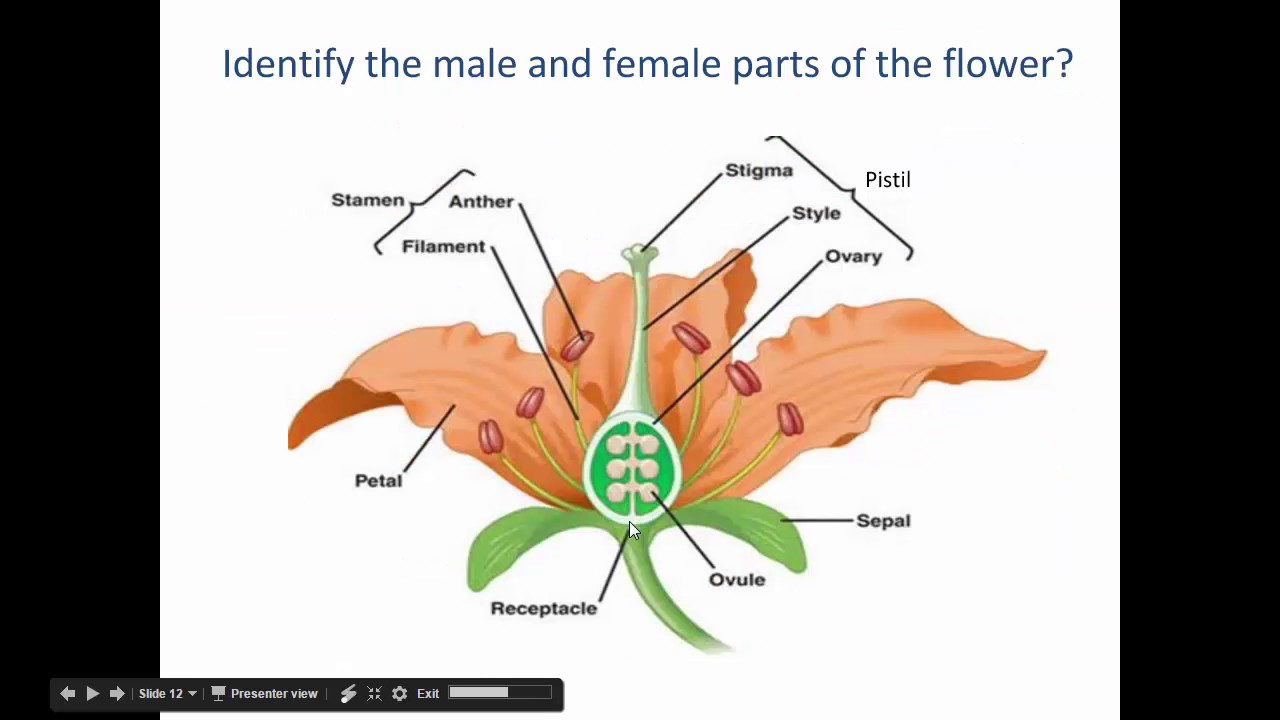 parts of a flower diagram how to draw project network sci7 anatomy youtube