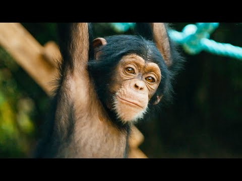 image for Teaching Orphaned Baby Chimps How To Climb Could Be THE Greatest Job