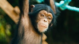 Baby Chimps Learn How To Climb   BBC Earth