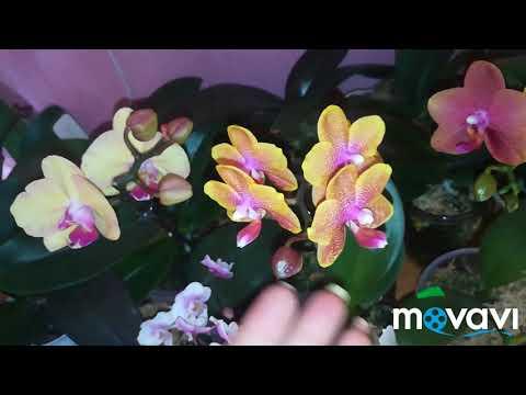 Орхидеи! Какие сорта фаленопсисов цветут дольше,а какие нет�� мои наблюдения