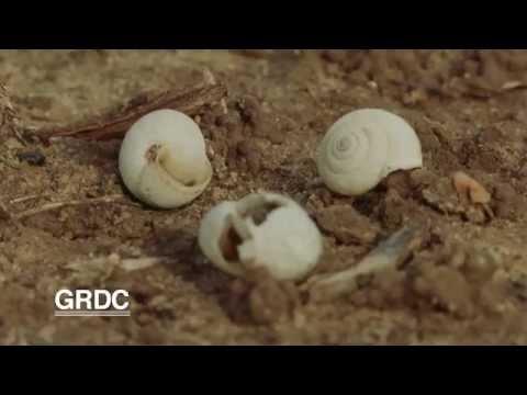 GCTV17: Snail Bait Timing