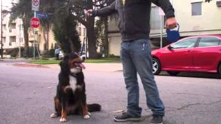 The Good Dog Minute 3/6/13: Creating An Off-leash E-collar Recall In 25 Minutes!