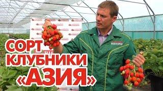 Сорт клубники Азия(, 2016-09-13T09:37:15.000Z)