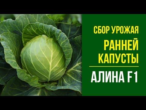 Сбор урожая ранней капусты Алина F1
