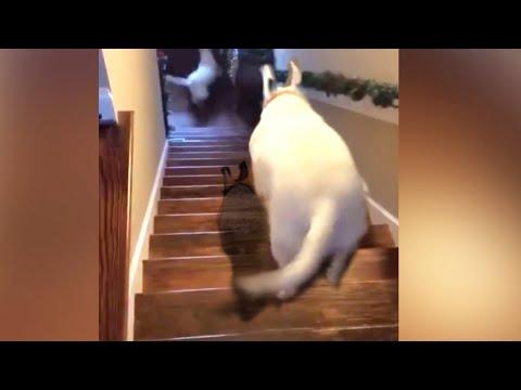 dog jumping down flight of stairs - tik tok