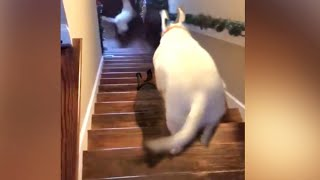dog jumping down flight of stairs  tik tok