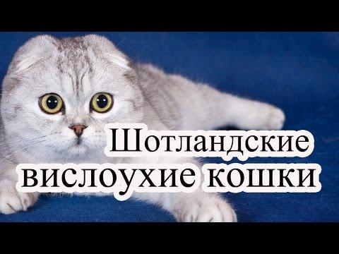 Друзья человека- шотландские вислоухие кошки и коты.