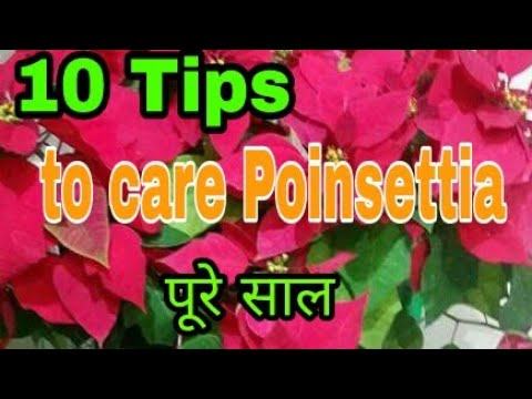 No_165) 10 tips to care / survive poinsettia ornamental plant whole year( Hindi/ Urdu)