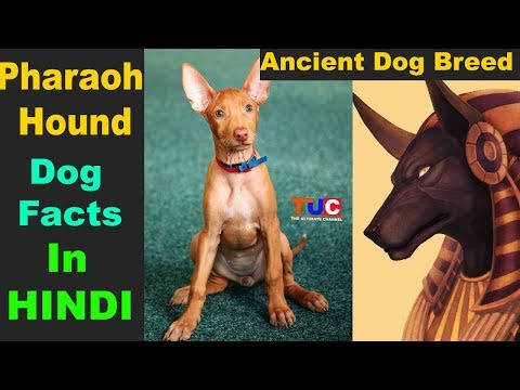 Pharaoh Hound Dog Facts In Hindi : Popular Dogs : TUC