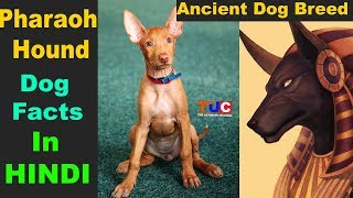 Pharaoh Hound egypt me paye jane wale kaafi purane dog breed hai in...
