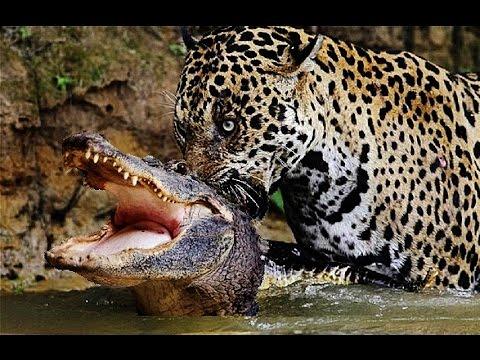 Животное ягуар (50 фото): как выглядит и где обитает зверь
