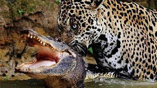 ягуара против крокодила - 2015