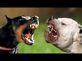 Doberman vs Dogo Argentino - Difference Explained [Mr Friend]