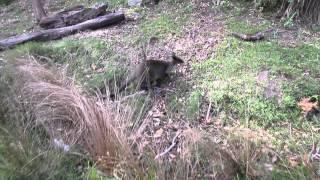 Kangur;) Ku-ring-gai Chase National Park, Australia