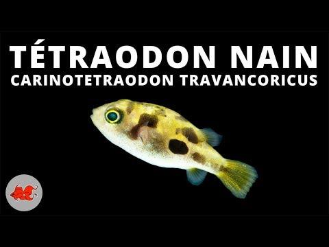 Tétraodon Nain - Carinotetraodon Travancoricus ✔