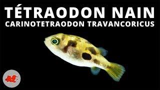 Dwarf tetraodon - Carinotetraodon travancoricus ✔