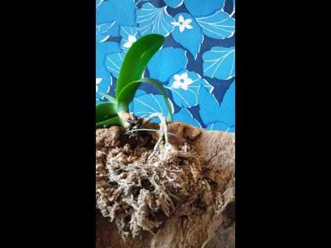 Болезни  орхидей. Стрептоцид или корица?
