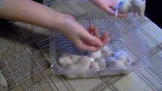 Крысы: выбор будущих питомцев