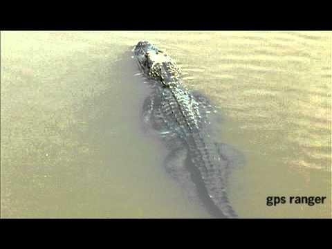 Creole Nature Trail - Alligators