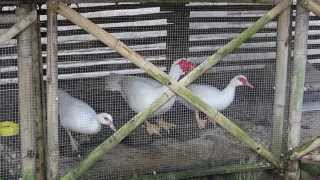 How To Make A Coop (with Bamboo). Cheap, Easy And Quick.