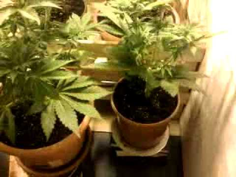Plante ton herbe plantation d 39 interieur cannabis ma for Planter du cannabis en interieur