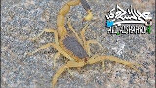 شاهد أخطر عقرب في الجزيرة العربية The most dangerous scorpions