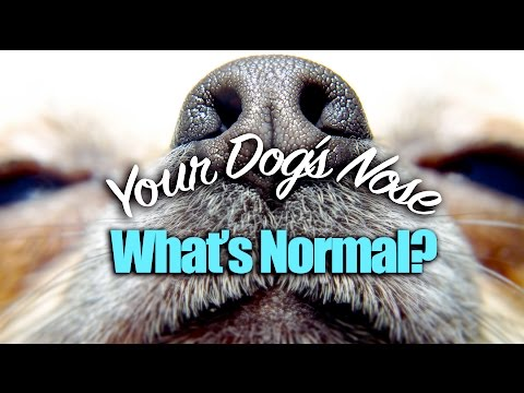 Your Dog's Nose - What's Normal?