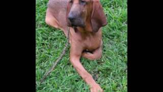 Balanced Obedience Dog Training Of Hawaii.  Doggie Boot Camp Of Bloodhound Puppy And More.