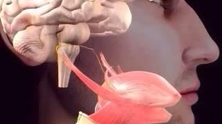 Nervo Glossofaríngeo Fonoaudiologia Neurológica