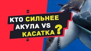 КАСАТКА против БЕЛАЯ АКУЛА. Кто сильнее касатка или белая акула ??