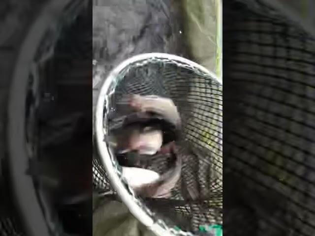 Ihmsen - Der Forellengott Forellensee Rosenweiher Paar Saiblinge können wir auch