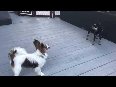 Papillon dog teasing angry chihuahua