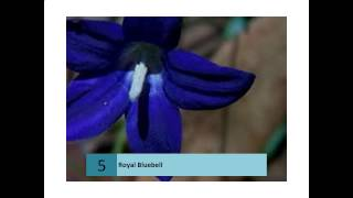 Royal Bluebell  Canberra